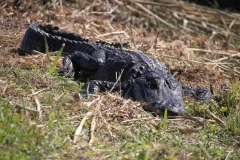 img_4894-alligator-everglades