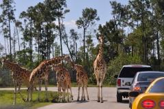 Giraffe-cars1