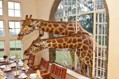 two-giraffe