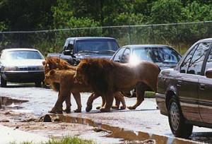 Фотография из экскурсии на львиное сафари в Майами