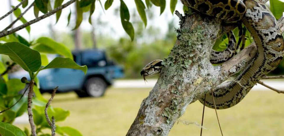 Бирмунский питон