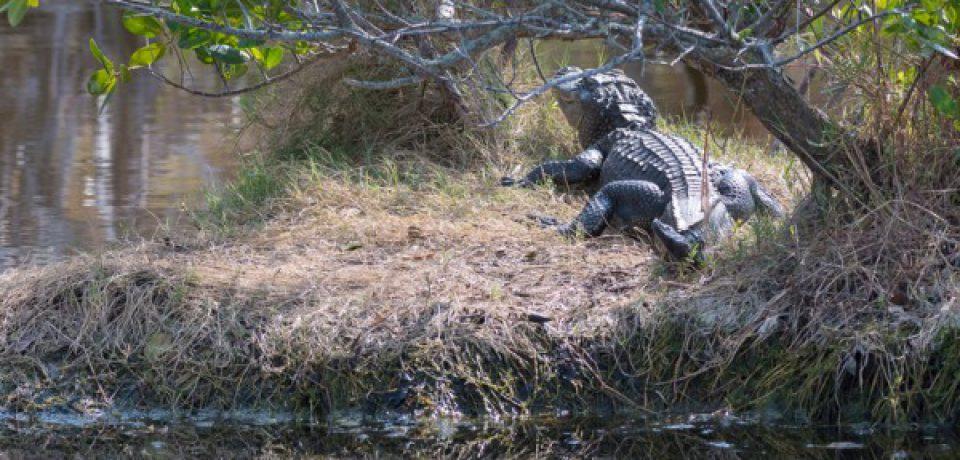 охота на аллигатора в майами
